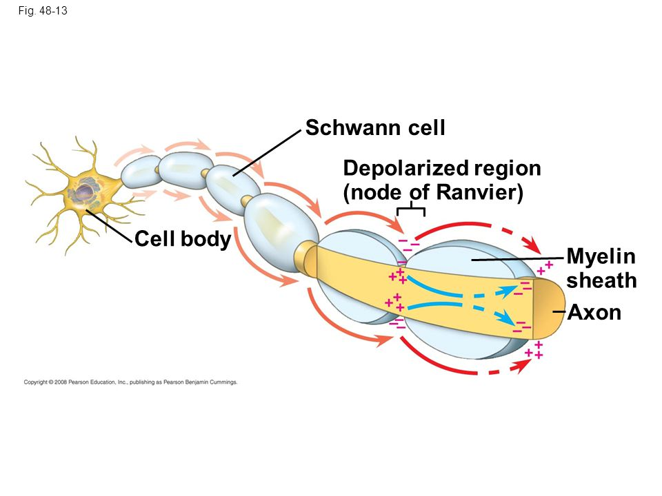 Schwann cell Depolarized region (node of Ranvier) Cell body Myelin