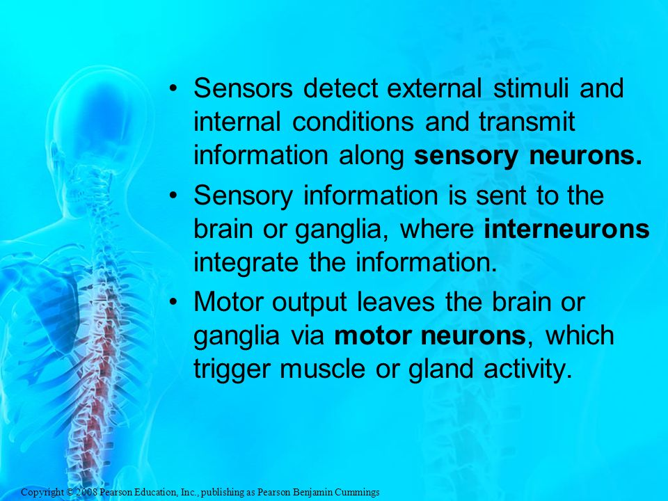 Sensors detect external stimuli and internal conditions and transmit information along sensory neurons.