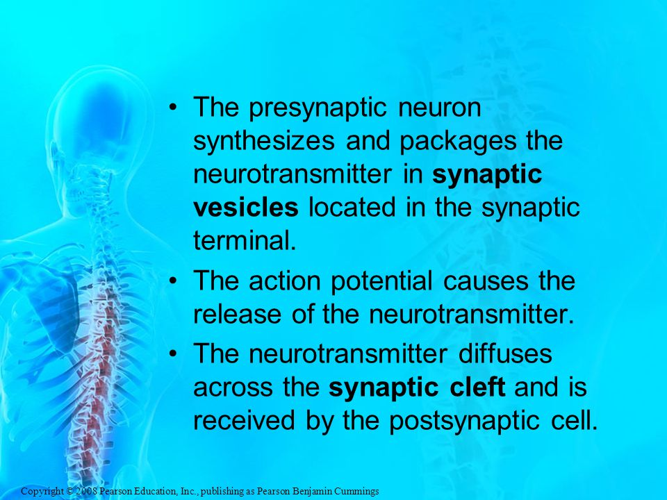 The presynaptic neuron synthesizes and packages the neurotransmitter in synaptic vesicles located in the synaptic terminal.