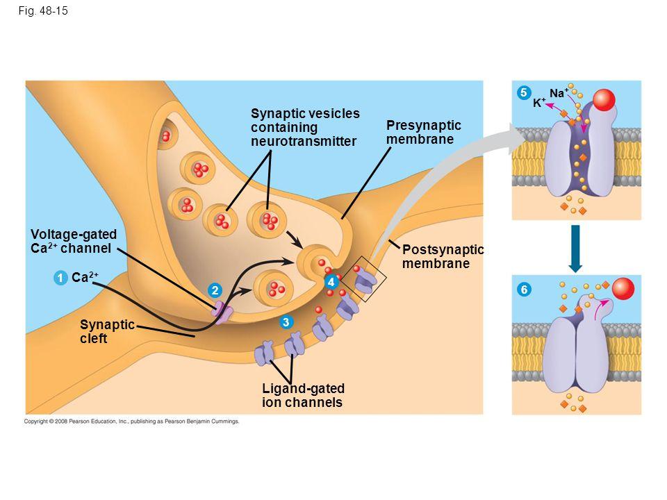 Synaptic vesicles containing Presynaptic neurotransmitter membrane