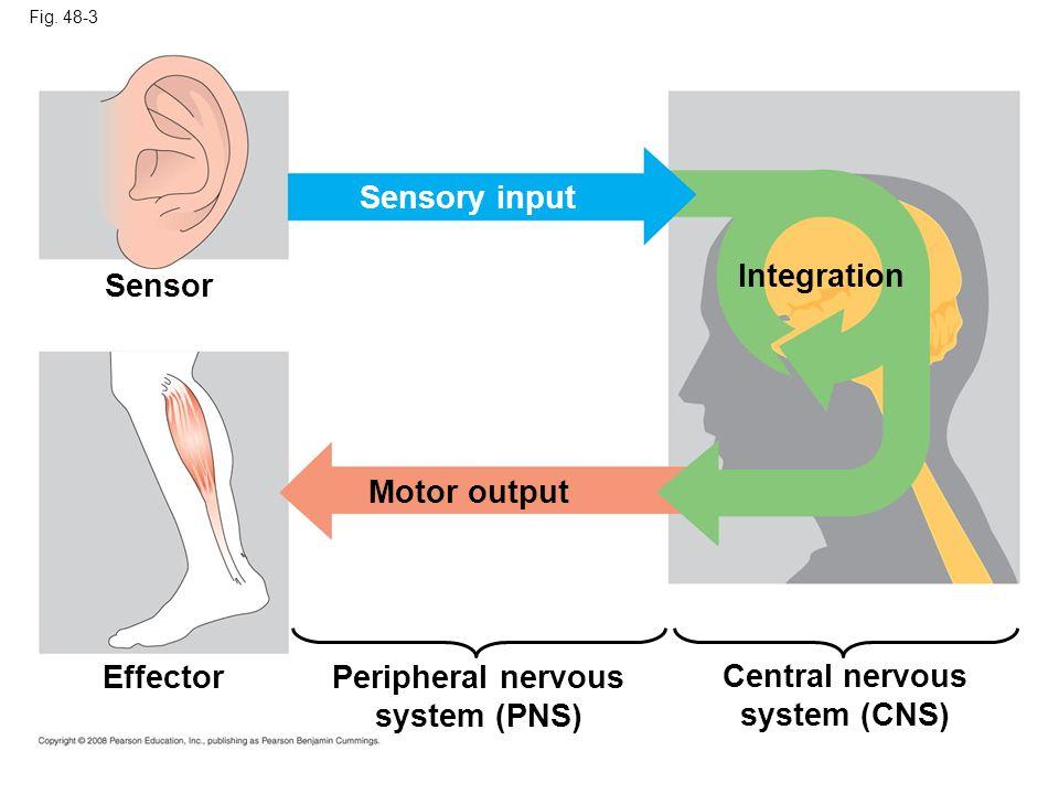 Peripheral nervous system (PNS) Central nervous system (CNS)