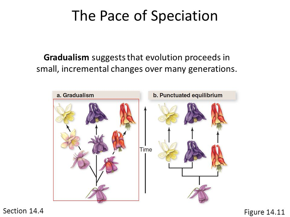 The Pace of Speciation Gradualism suggests that evolution proceeds in small, incremental changes over many generations.
