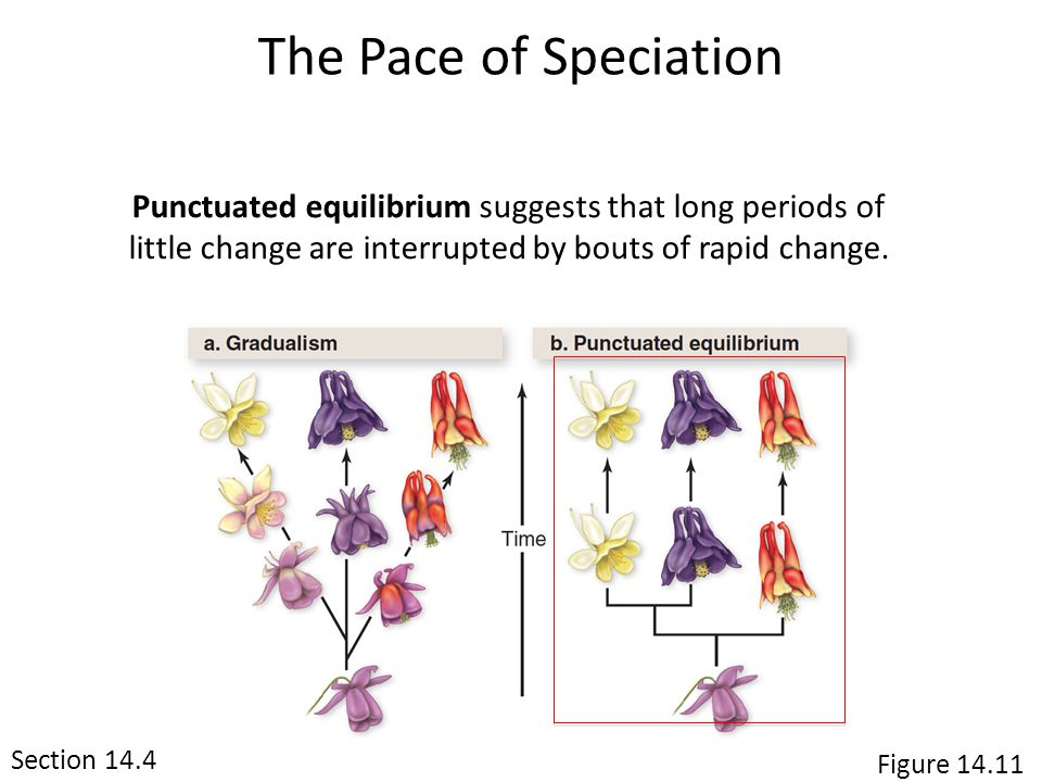 The Pace of Speciation Punctuated equilibrium suggests that long periods of little change are interrupted by bouts of rapid change.
