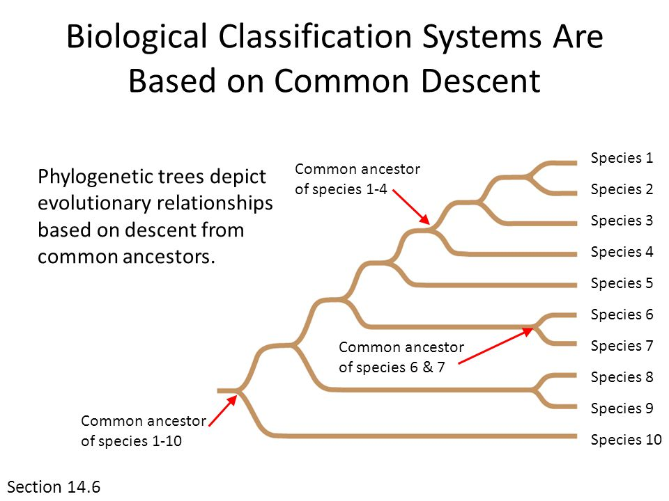 Biological Classification Systems Are Based on Common Descent