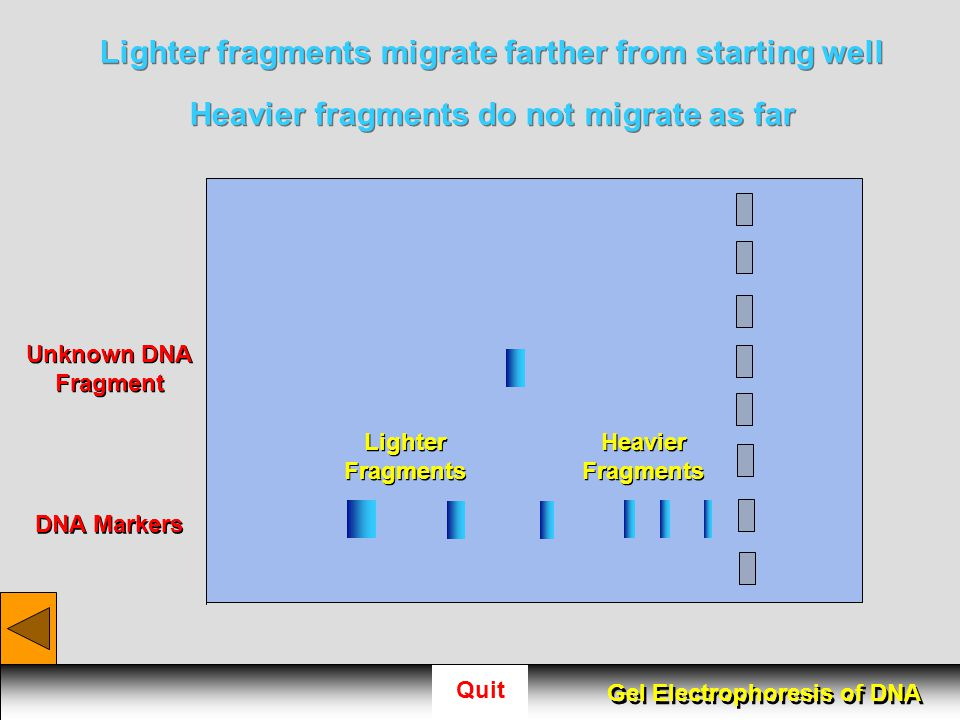 Lighter fragments migrate farther from starting well