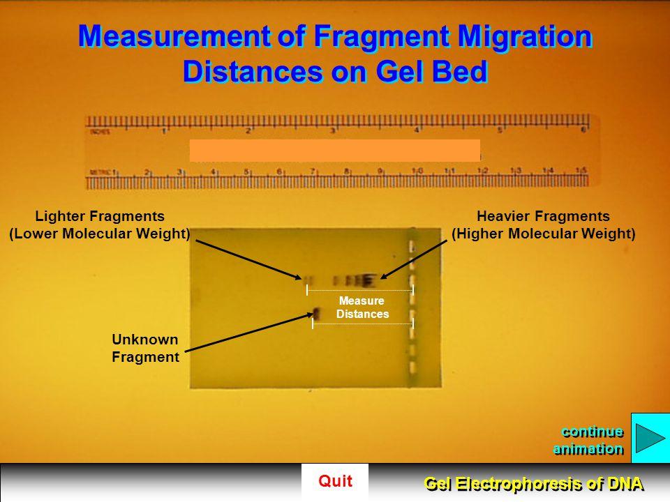 Measurement of Fragment Migration Distances on Gel Bed