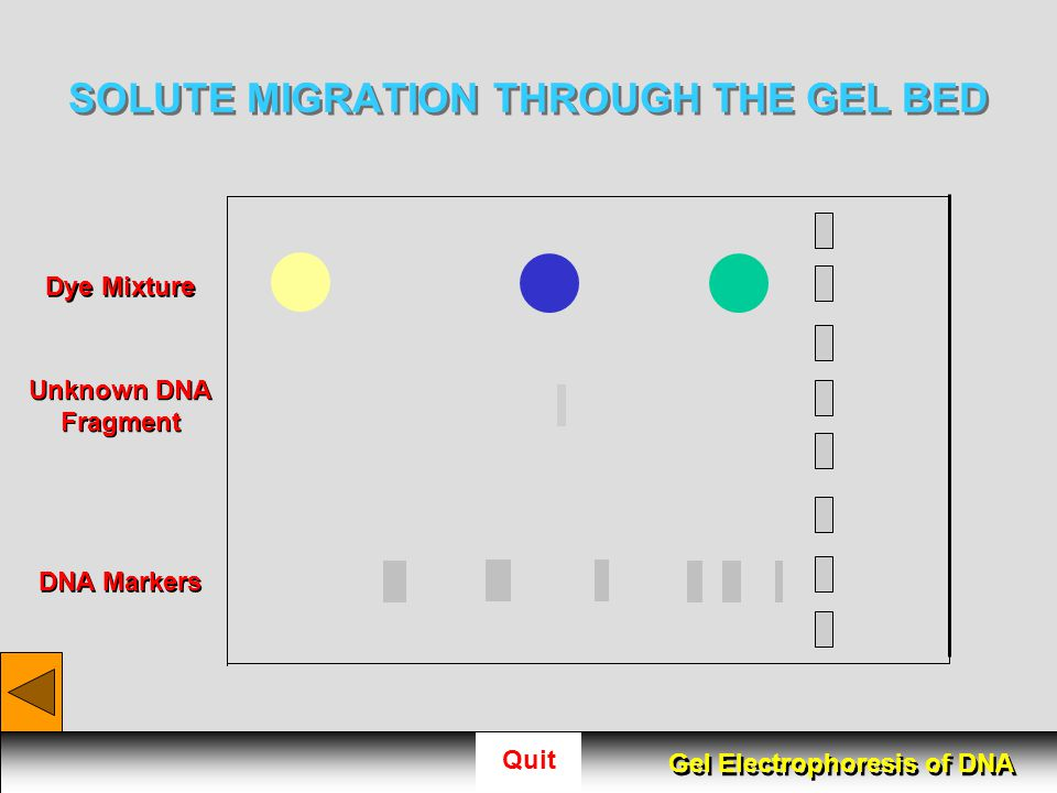 SOLUTE MIGRATION THROUGH THE GEL BED