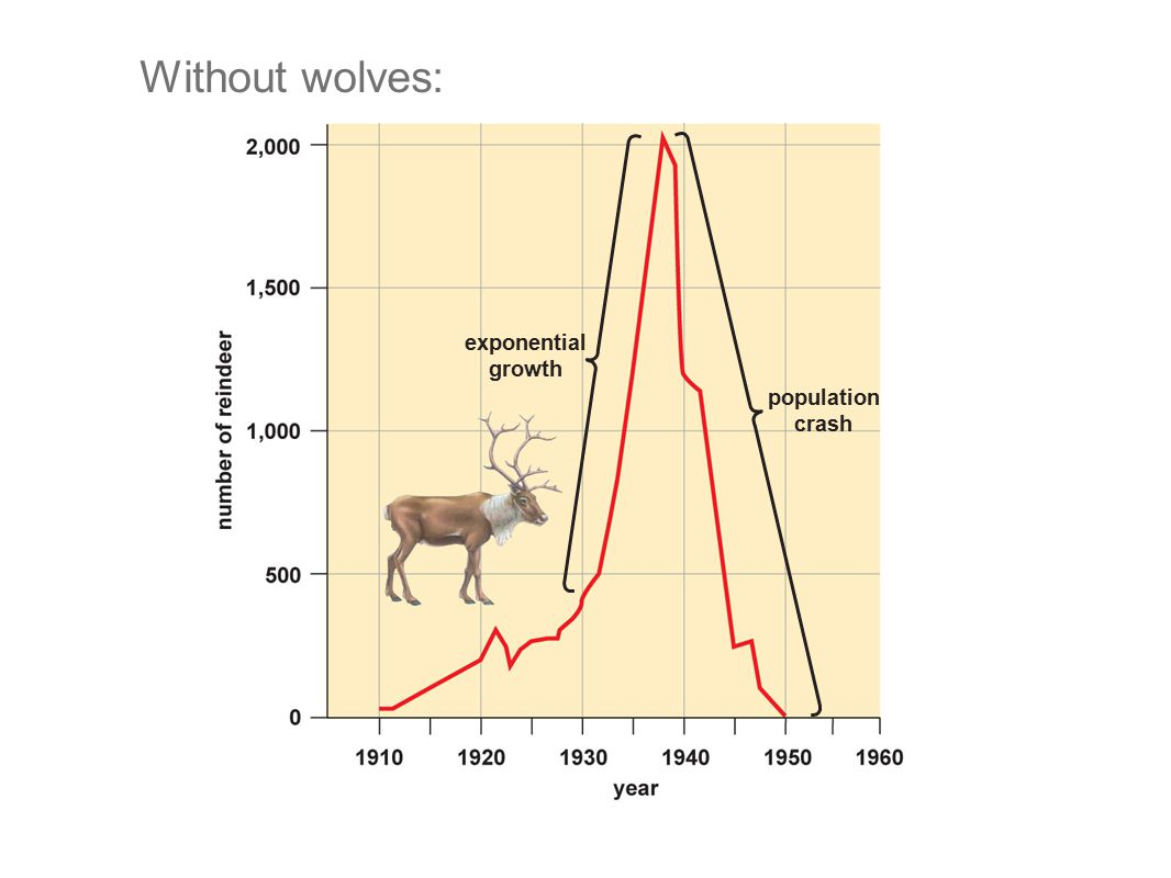 Without wolves: exponential growth population crash