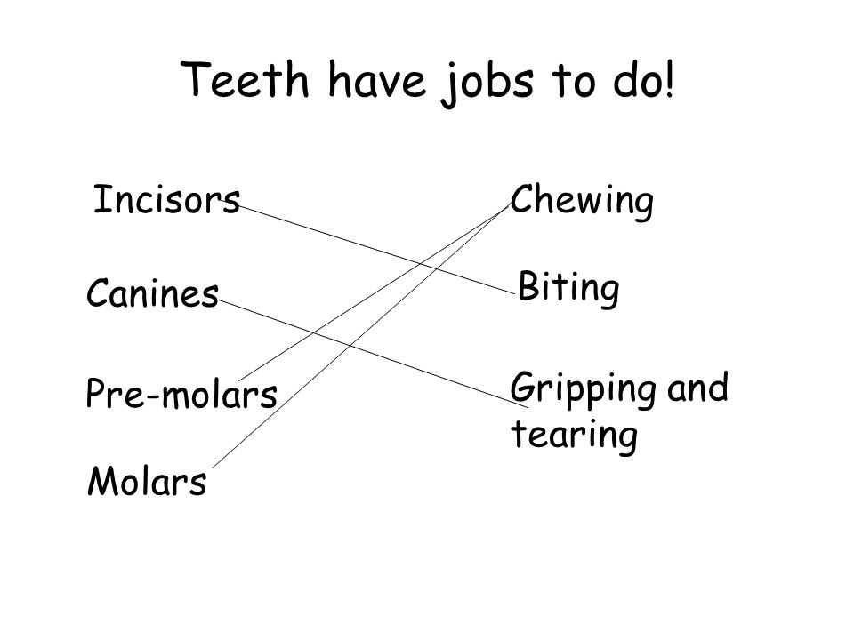 Teeth have jobs to do! Incisors Chewing Biting Gripping and tearing