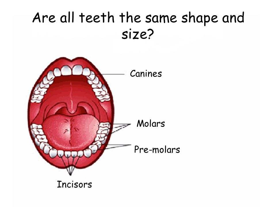 Are all teeth the same shape and size