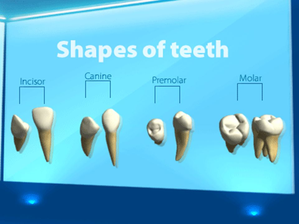 Recap this with the children looking in more detail at the size and shape. Depending on the ability of the group you could discuss the roots. Asking the children to feel under their nose with their fingers to see if they can feel the roots under the gums and surrounded by jaw bone.