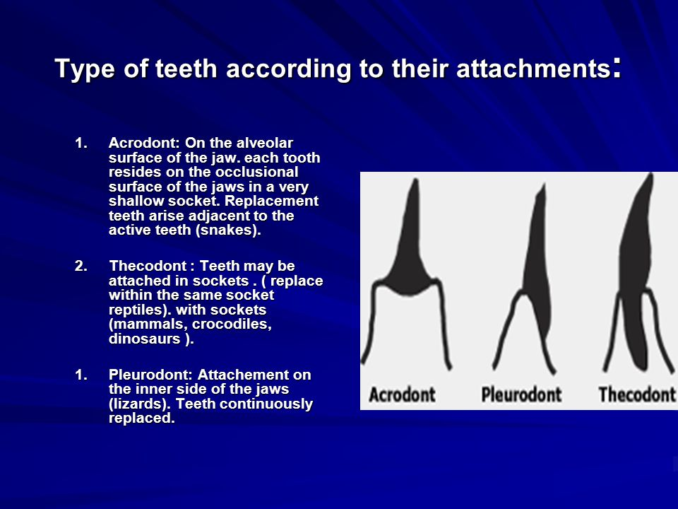 Type of teeth according to their attachments: