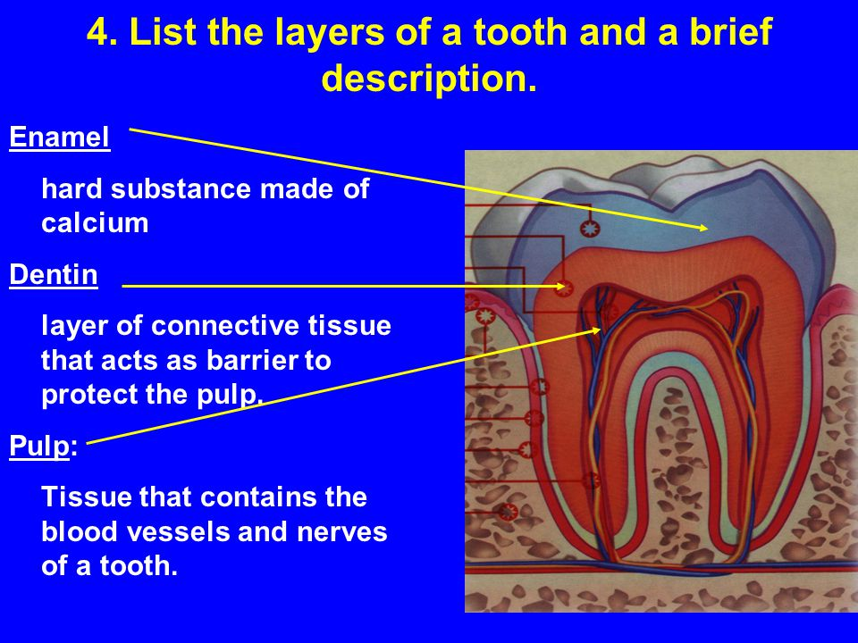 4. List the layers of a tooth and a brief description.
