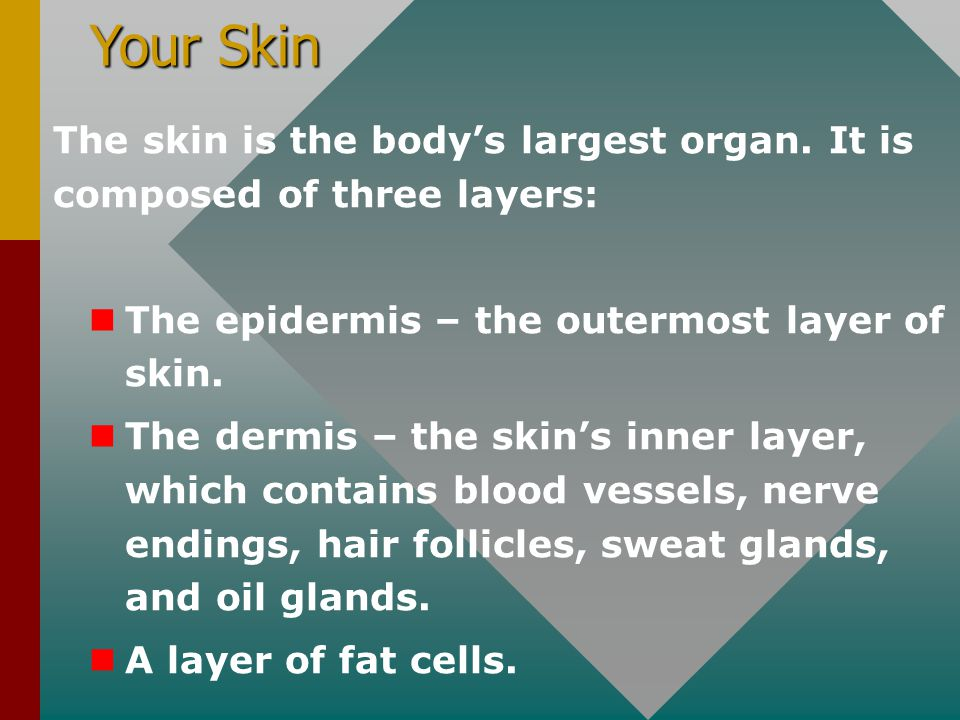 Your Skin The skin is the body's largest organ. It is composed of three layers: The epidermis – the outermost layer of skin.