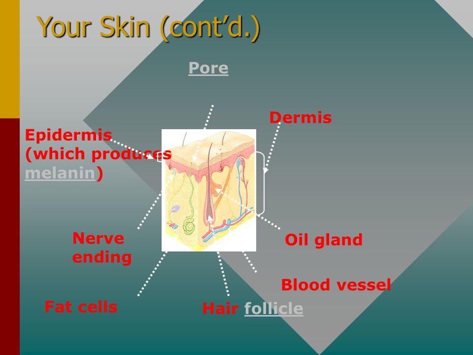 Your Skin (cont'd.) Pore Dermis Epidermis (which produces melanin)