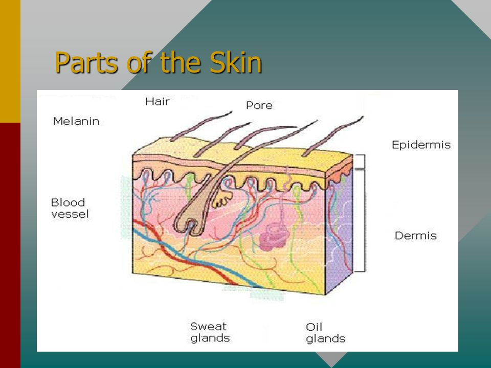 Parts of the Skin