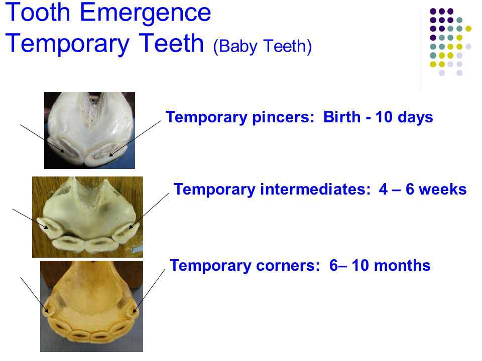 Tooth Emergence Temporary Teeth (Baby Teeth)
