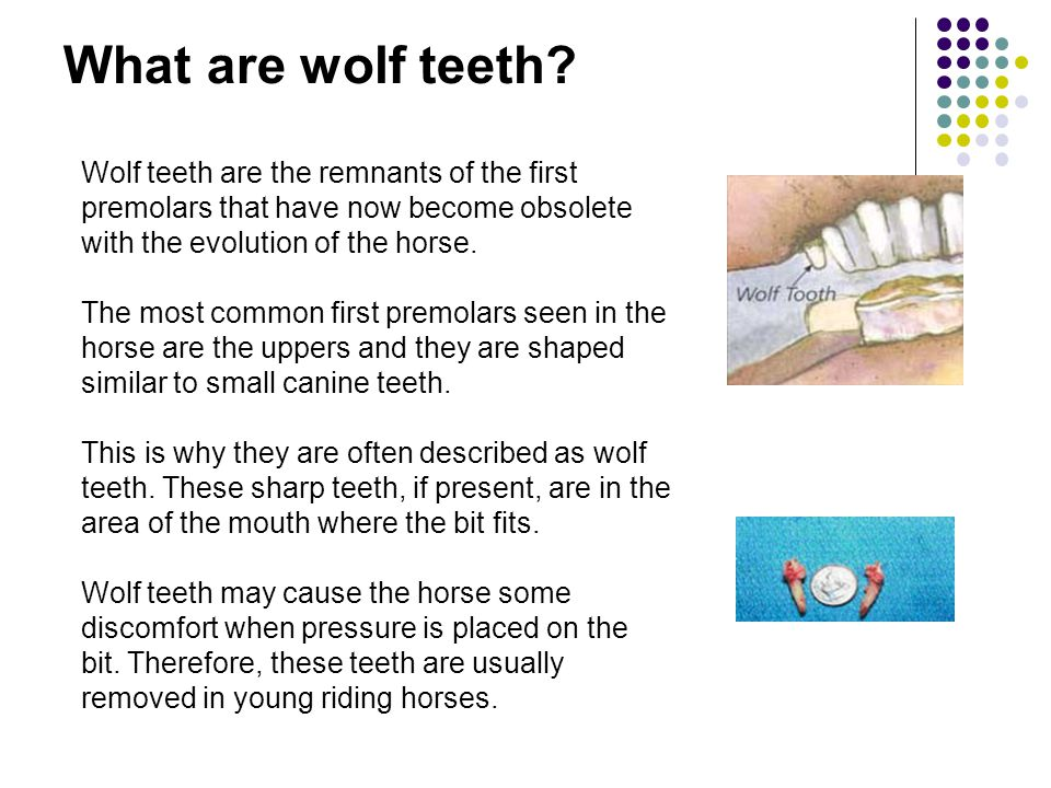 What are wolf teeth Wolf teeth are the remnants of the first premolars that have now become obsolete with the evolution of the horse.