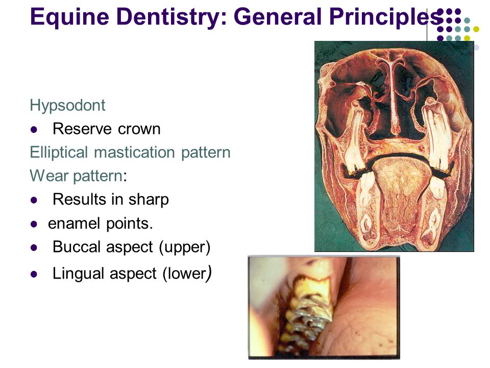 Equine Dentistry: General Principles