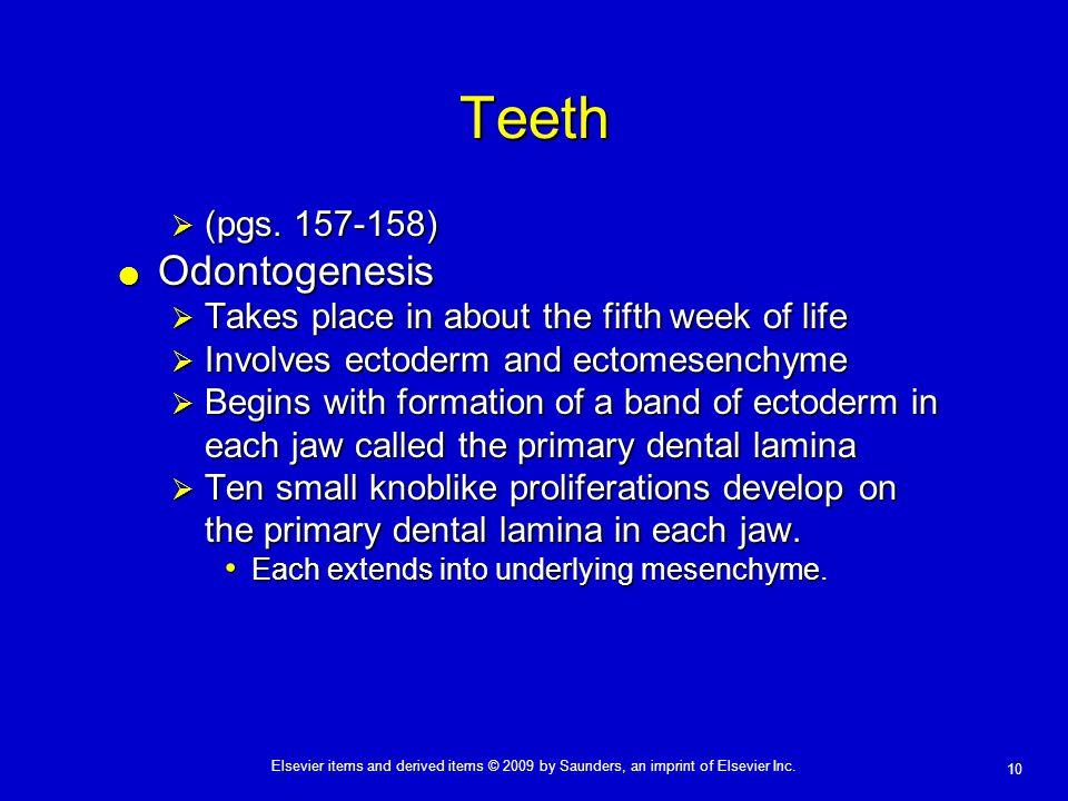 Teeth Odontogenesis (pgs. 157-158)