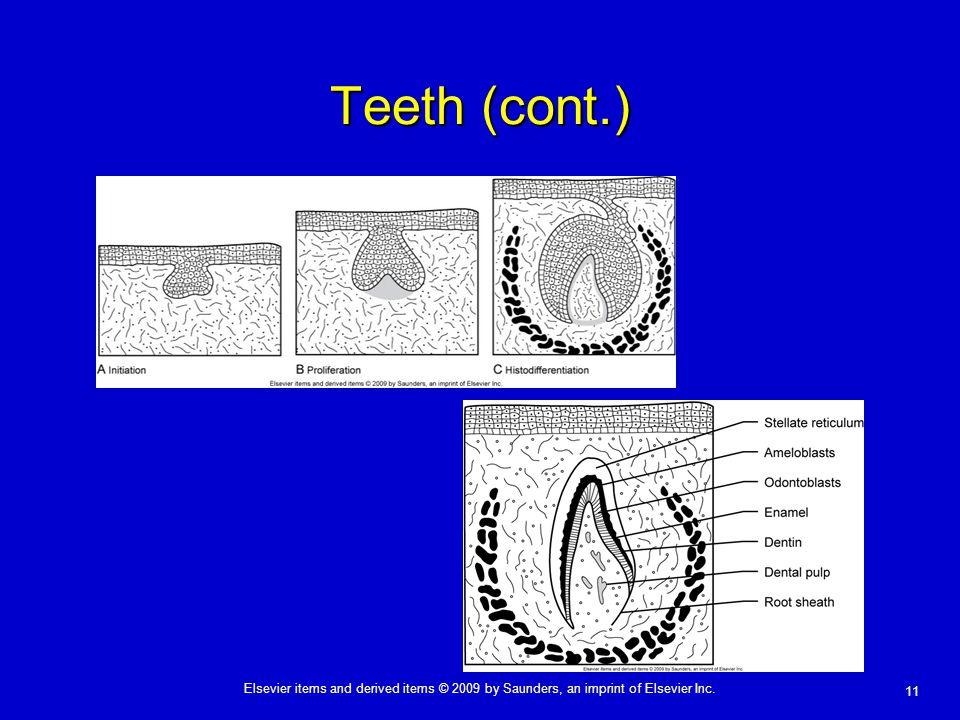 Teeth (cont.)