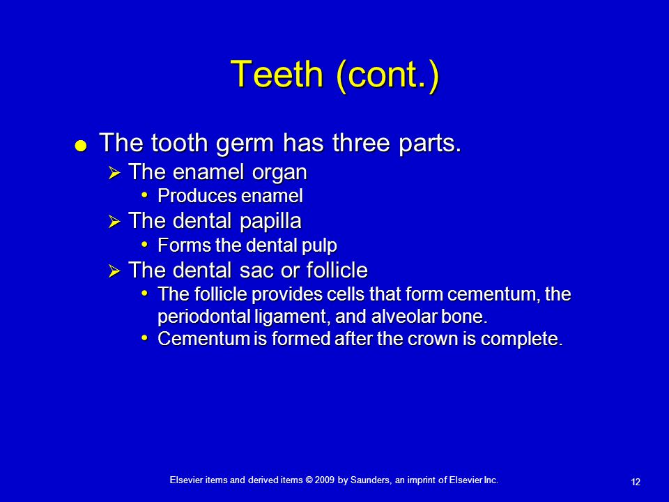Teeth (cont.) The tooth germ has three parts. The enamel organ