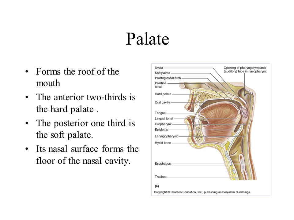 Palate Forms the roof of the mouth