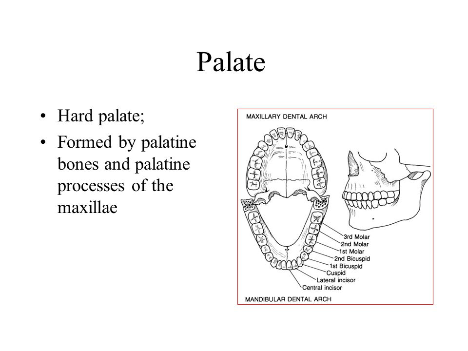 Palate Hard palate; Formed by palatine bones and palatine processes of the maxillae