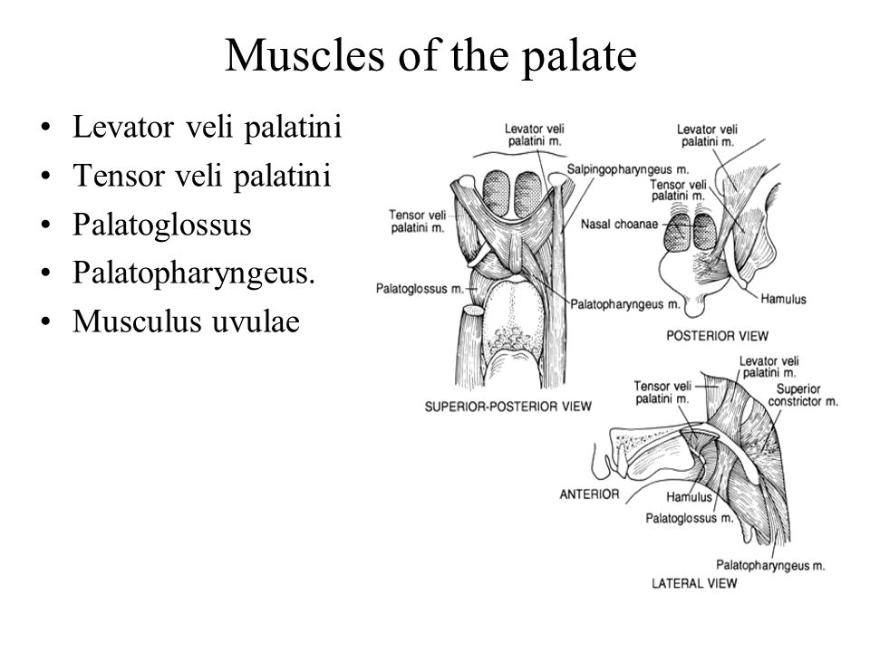 Muscles of the palate Levator veli palatini Tensor veli palatini