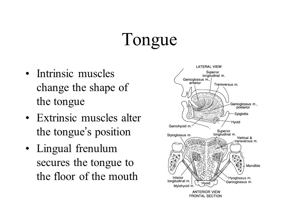 Tongue Intrinsic muscles change the shape of the tongue