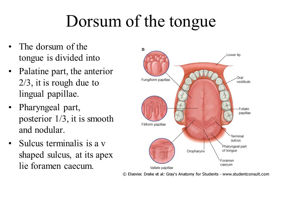 Dorsum of the tongue The dorsum of the tongue is divided into