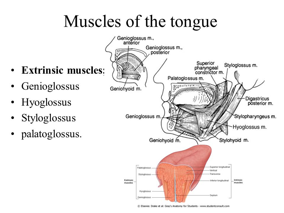 Muscles of the tongue Extrinsic muscles; Genioglossus Hyoglossus