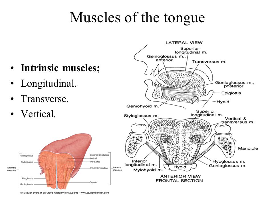 Muscles of the tongue Intrinsic muscles; Longitudinal. Transverse.