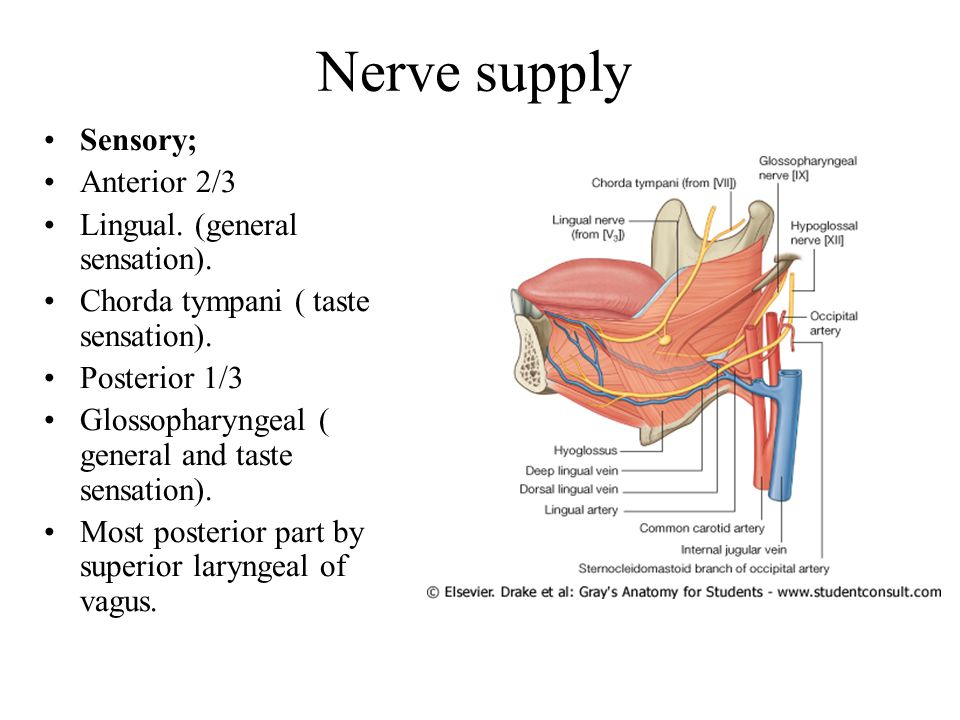 Nerve supply Sensory; Anterior 2/3 Lingual. (general sensation).