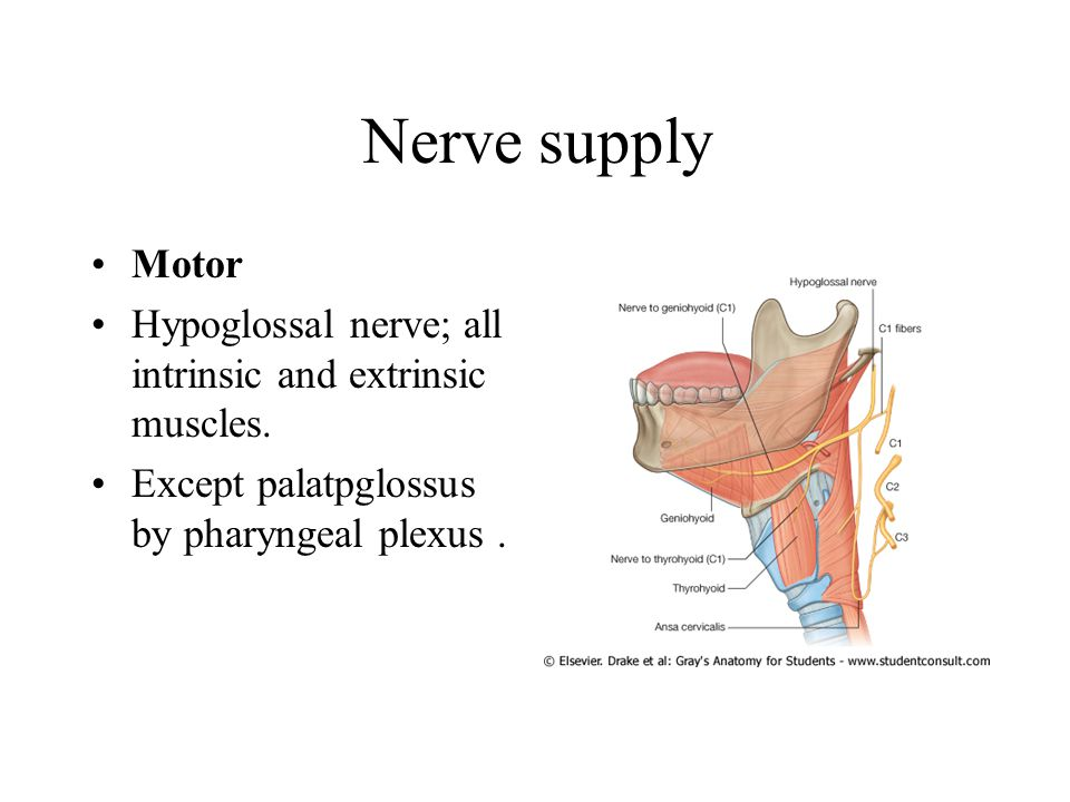 Nerve supply Motor. Hypoglossal nerve; all intrinsic and extrinsic muscles.