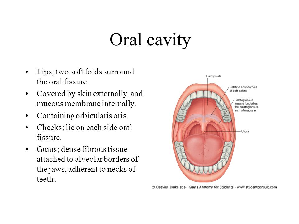 Oral cavity Lips; two soft folds surround the oral fissure.