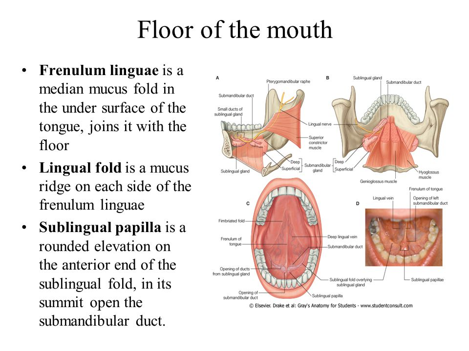 Floor Of Mouth Anatomy Of Ppt