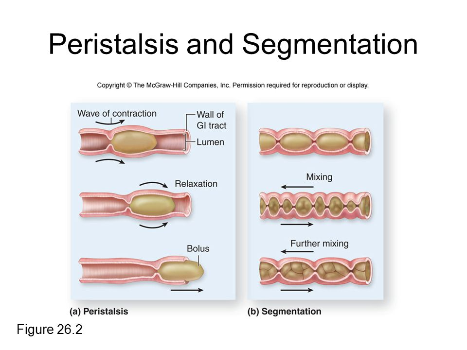Peristalsis and Segmentation