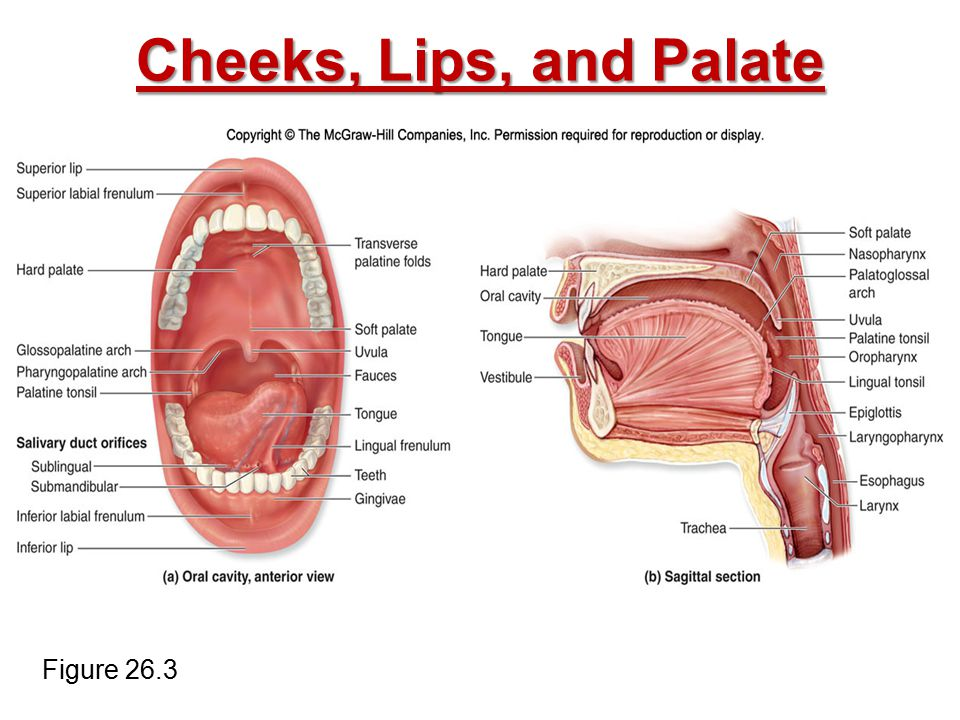 Cheeks, Lips, and Palate Figure 26.3