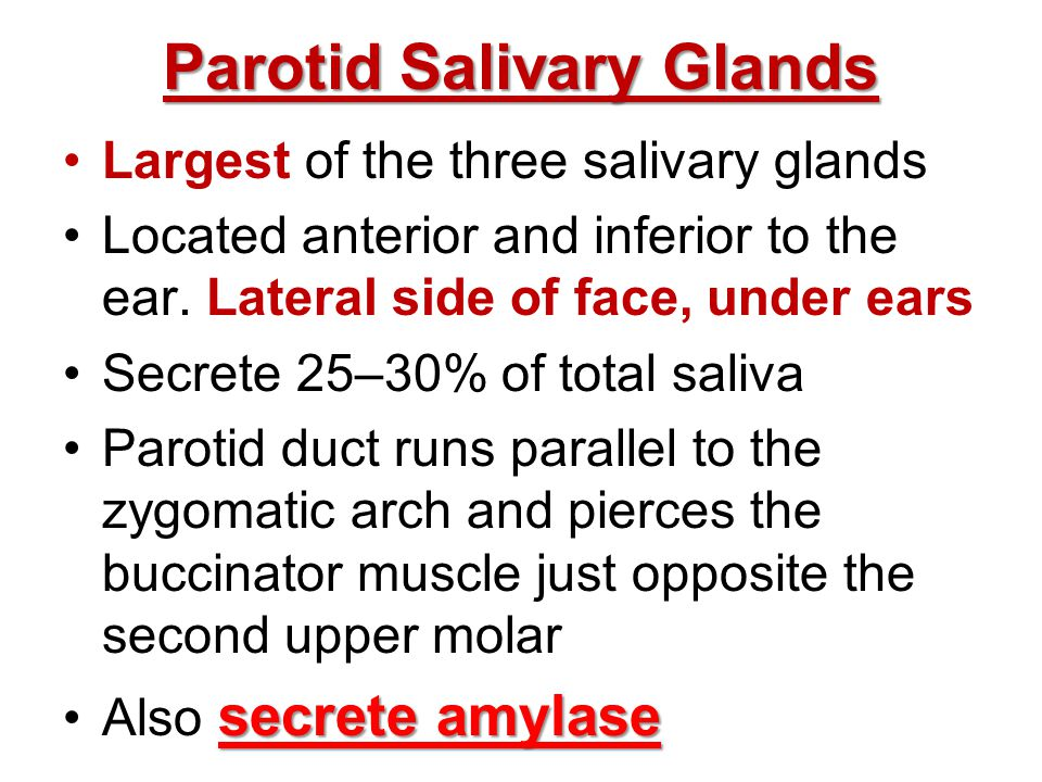 Parotid Salivary Glands