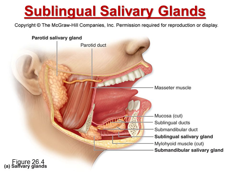 Sublingual Salivary Glands