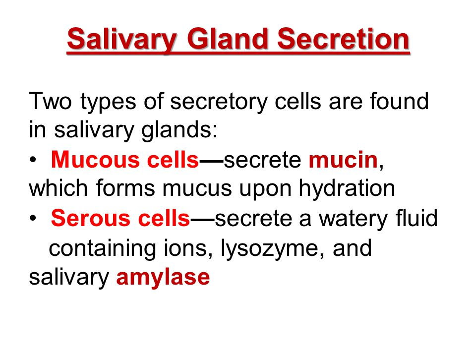 Salivary Gland Secretion