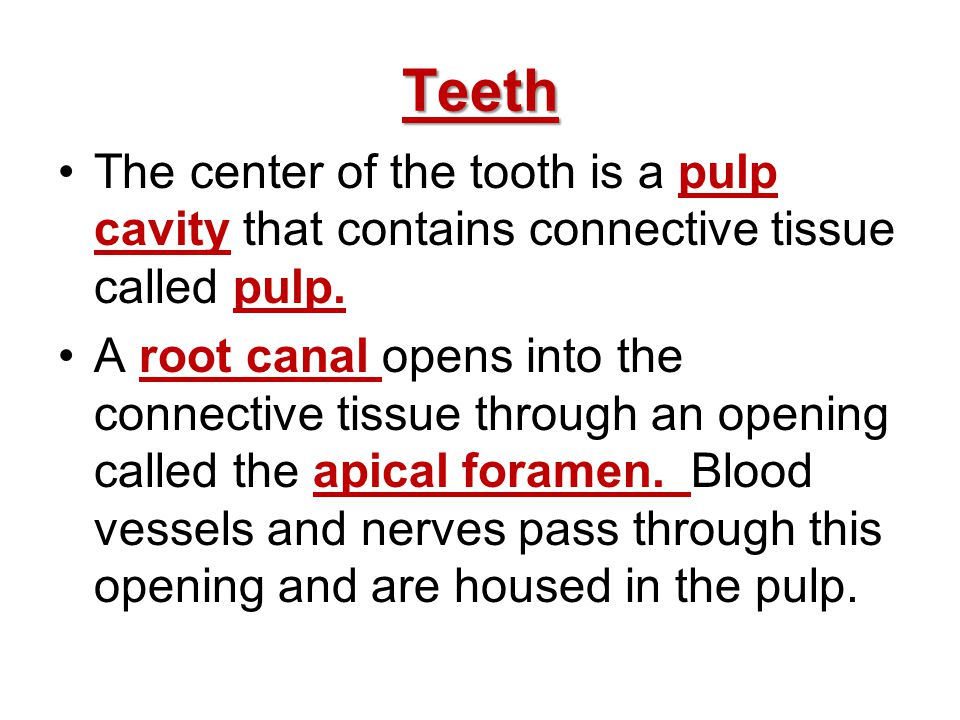 Teeth The center of the tooth is a pulp cavity that contains connective tissue called pulp.