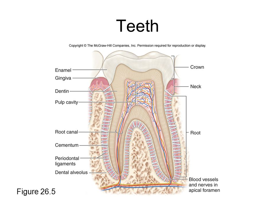 Teeth Figure 26.5