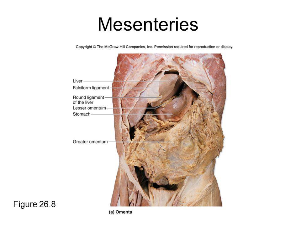 Mesenteries Figure 26.8