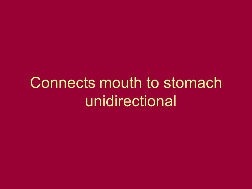 Connects mouth to stomach unidirectional