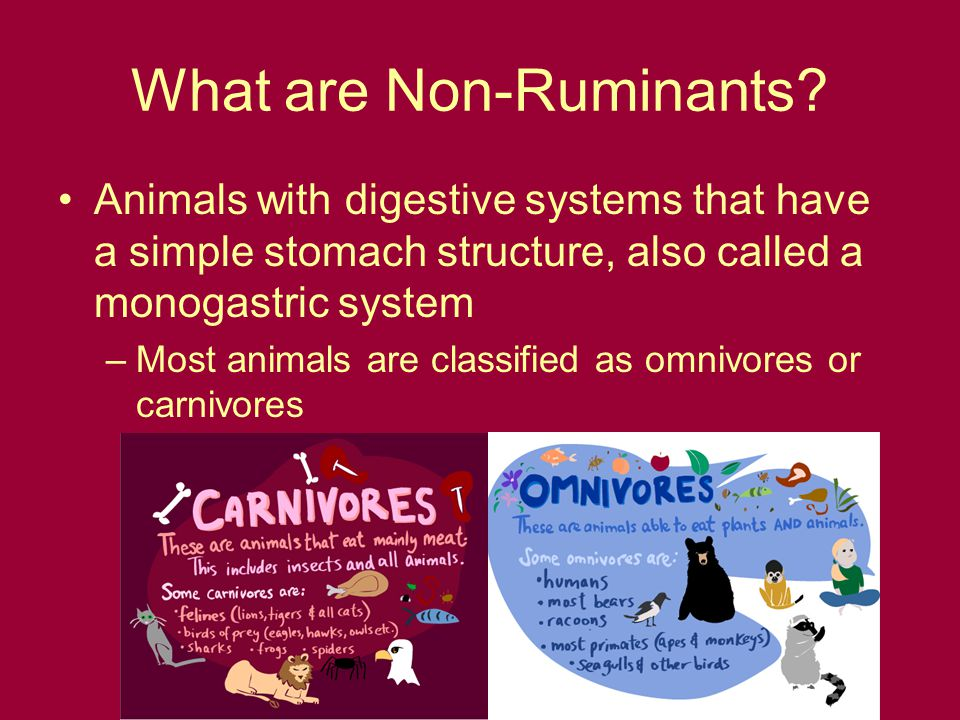 What are Non-Ruminants