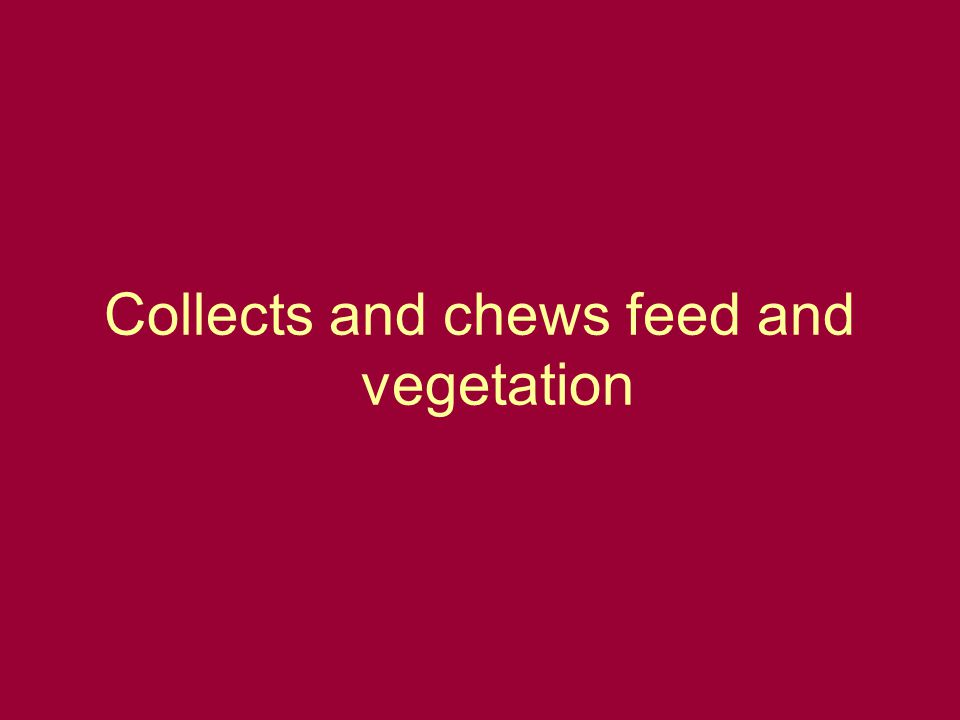 Collects and chews feed and vegetation