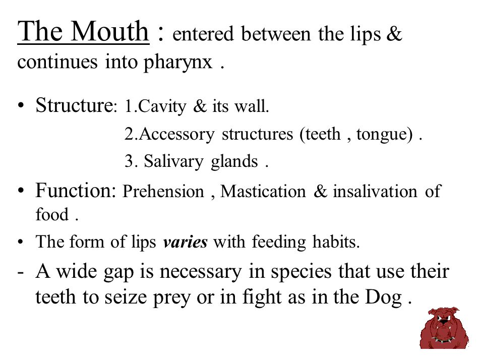 The Mouth : entered between the lips & continues into pharynx .