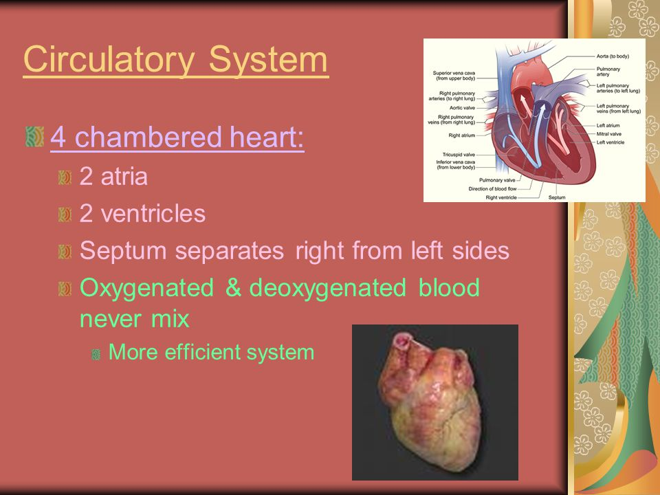 Circulatory System 4 chambered heart: 2 atria 2 ventricles